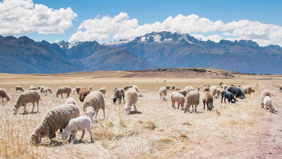 摄图网-牧场上的羊1